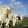 Cattle by Bernard Jaubert