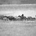 Cattle Drive by Sharon Talson
