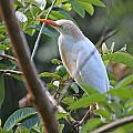 Cattle Egret 1 by Mike Dickie