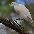 Cattle Egret by Charles Owens