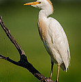 Cattle Egret On Stick by Robert Frederick