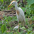 Cattle Egret by Tony Murtagh
