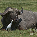 Cattle Egret With Cape Buffalo by John Shaw