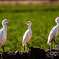 Cattle Egrets by Robert Bales