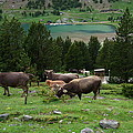 Cattle Grazing In The Pyrenees by Toby McGuire