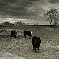 Cattle In The Winter Pasture Series Image 2 by Gray  Artus