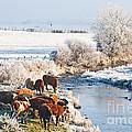 Cattle In Winter by Liz Leyden