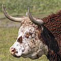 Cattle With Horns Side Portrait by Jit Lim