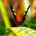 Cattleheart Butterfly  by Amy McDaniel