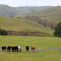 Cattles At Fernandez Ranch California - 5d21062 by Wingsdomain Art and Photography