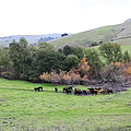 Cattles At Fernandez Ranch California - 5d21070 by Wingsdomain Art and Photography