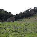 Cattles At Fernandez Ranch California - 5d21104 by Wingsdomain Art and Photography