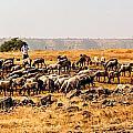 Cattles by Vijay Sonar