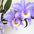 Cattleya Orchid by Bradford Martin