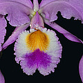 Cattleya Orchid by Dave Mills