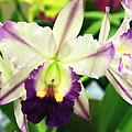 Cattleya Orchid by Nancy Chenet
