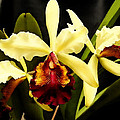 Cattleya Too by Shere Crossman