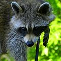 Cautious Coon by Bruce Brandli