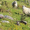 Cautious Sheep In The Pasture by Barbara Griffin