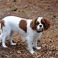 Cavalier Dog by Dale Powell