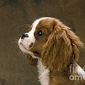 Cavalier King Charles Spaniel Dog by John Daniels