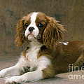 Cavalier King Charles Spaniel Dog Lying by John Daniels