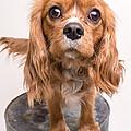 Cavalier King Charles Spaniel Puppy by Edward Fielding