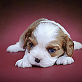 Cavalier King Charles Spaniel Puppy by Waldek Dabrowski