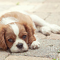 Cavalier Puppy by Kay Pickens