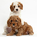 Cavapoo Puppies by Mark Taylor