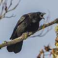 Caw by Charlie Duncan