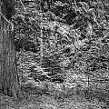 Cedar Along The Trail Of Cedars Glacier National Park Bw by Rich Franco