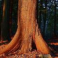 Cedar At Sunset by Jon Reddin Photography