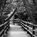 Cedar Pathway by Michelle Calkins