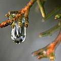 Cedar Tree Drips by Carolyn Fletcher
