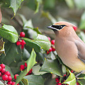 Cedar Waxwing In Holly Tree by Terry DeLuco