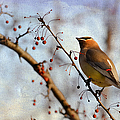 Cedar Waxwing And Berries by Julie Palencia
