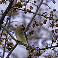 Cedar Waxwing Eating Berries 11 by Thomas Young