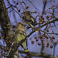 Cedar Waxwing Eating Berries 9 by Thomas Young