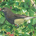 Cedar Waxwing Eating Mulberry by Cliff Wilson