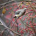 Cedar Waxwing Feeding by Bill Wakeley