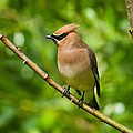 Cedar Waxwing Gathering Nesting Material by Jeff Goulden