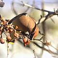 Cedar Waxwing - Img_0010-7x5 by Travis Truelove