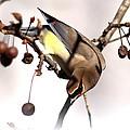 Cedar Waxwing - Img_9835-7x5 by Travis Truelove