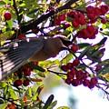 Cedar Waxwing In Flight 030515a by Edward Dobosh