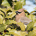 Cedar Waxwing In Holly by Terry DeLuco