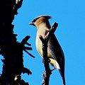 Cedar Waxwing In Tree 030515aaa by Edward Dobosh