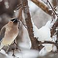 Cedar Waxwing In Winter by Jeff Folger