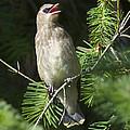Cedar Waxwing Juvenile 2 by Sharon Talson