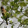 Cedar Waxwing Pictures 15 by World Wildlife Photography